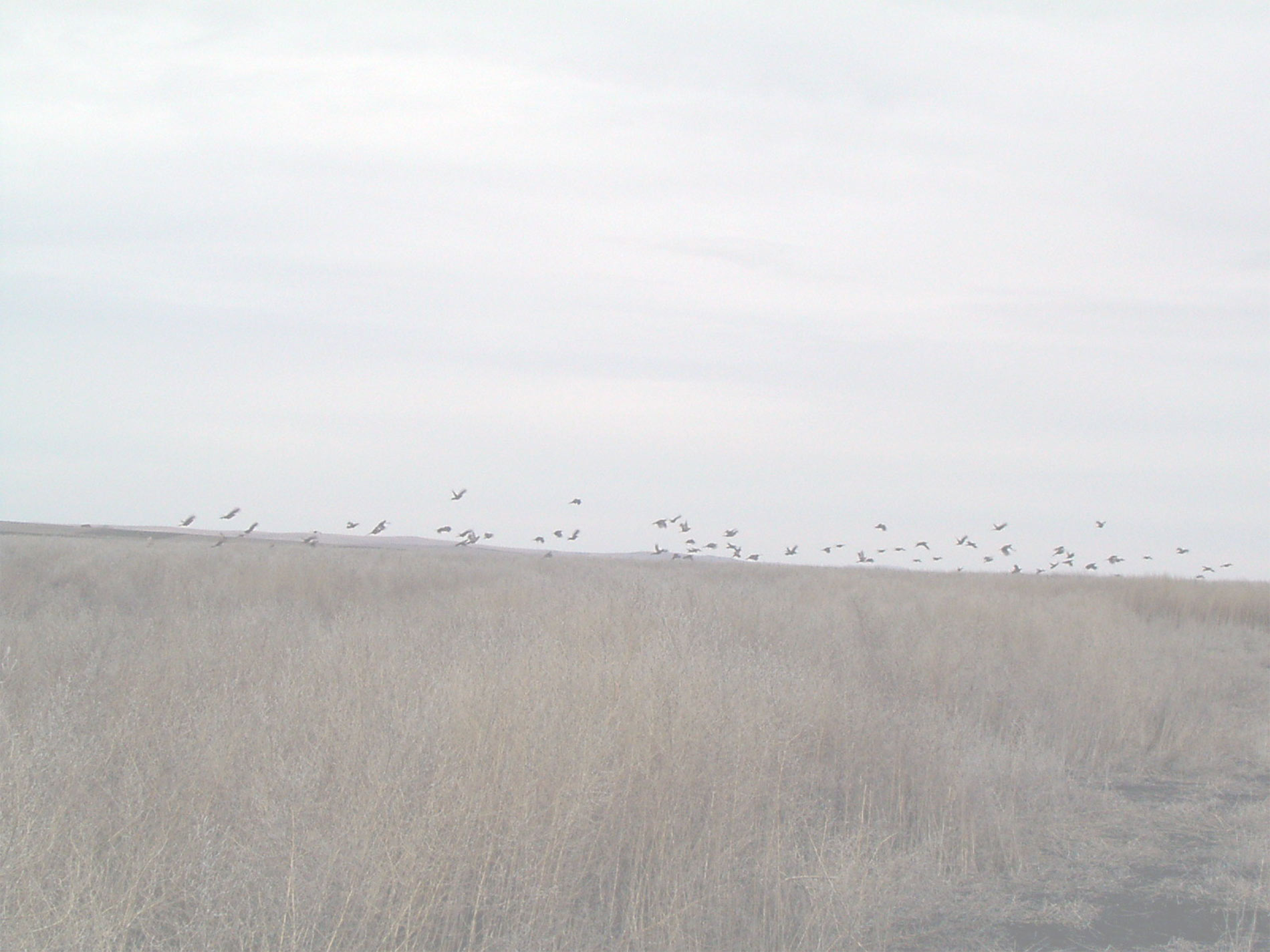 Lots and lots of pheasants